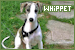 Dog Breeds: Whippets