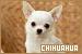 Dog Breeds: Chihuahua