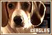 Dog Breeds: Beagles